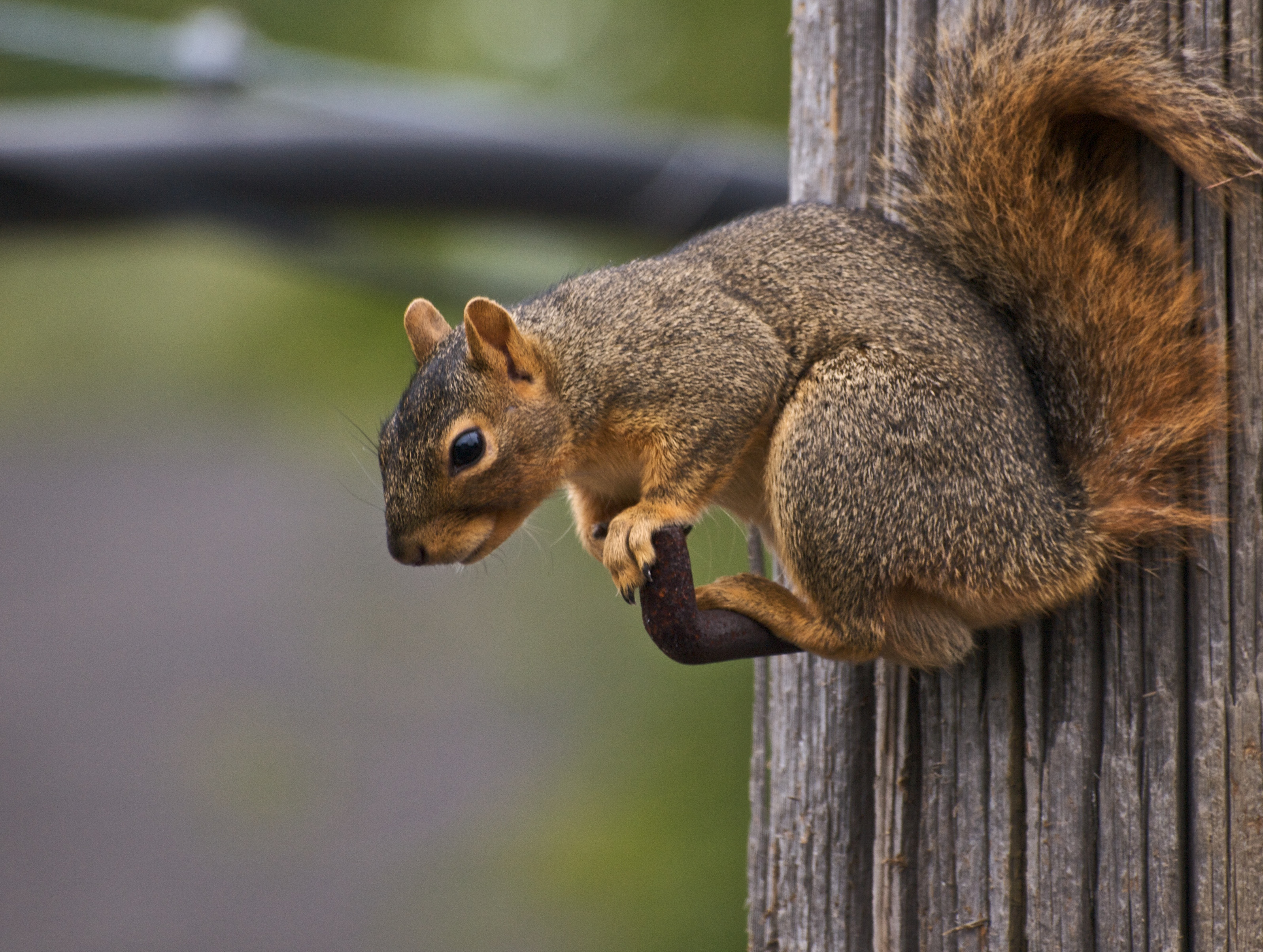 Squirrel Species - Wildlife Removal Plus