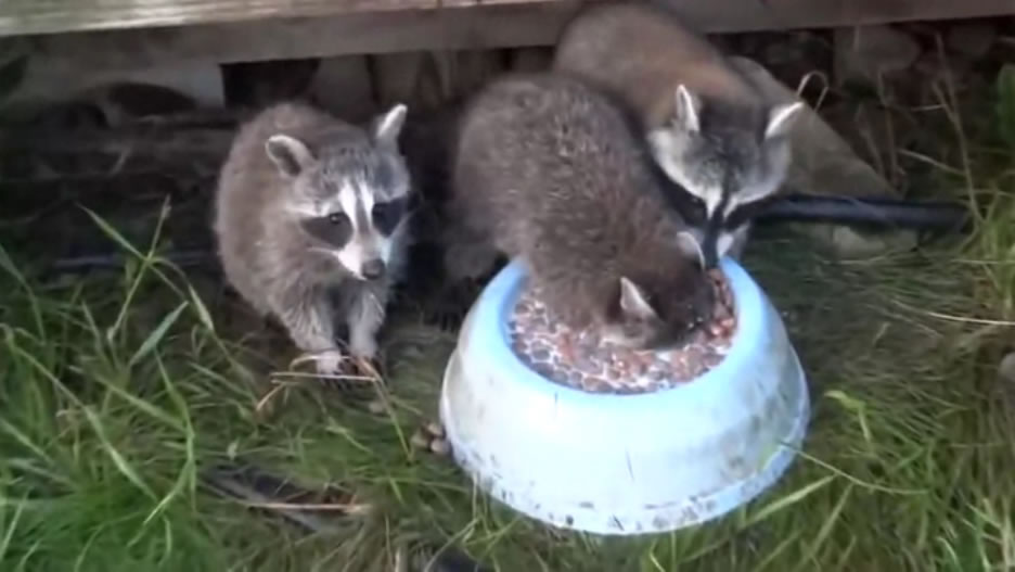 raccoon eating on a bowl