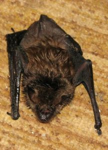 brown bat removal, brown bat removal trapping, brown bat