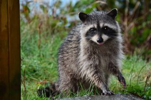 raccoon removal, wildlife, raccoon